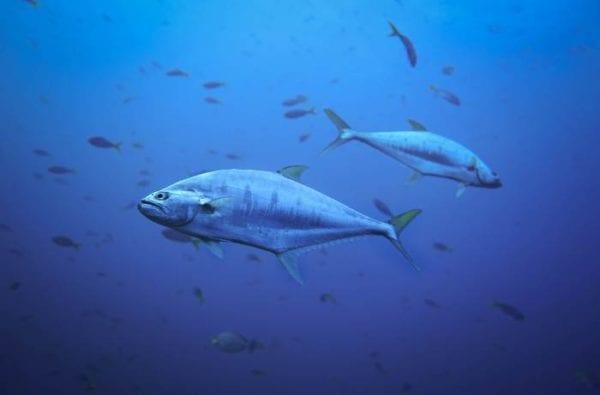 bluefin-tuna-ocean-fish-coast-boat-trips