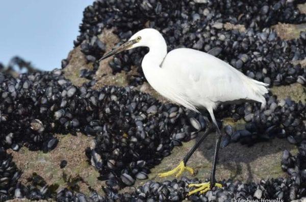 coast-boat-trips-birds-cornwall-little-egret