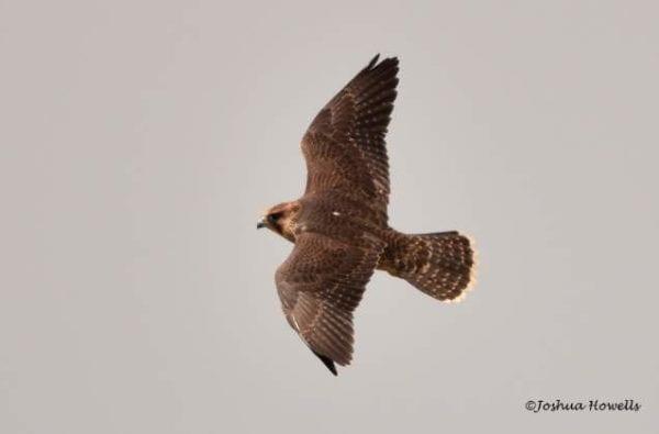 coast-boat-trips-birds-cornwall-peregrine-falcon