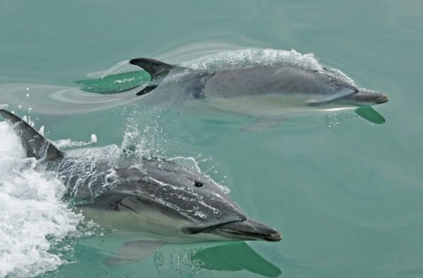 Dolphins in Cornwall waters