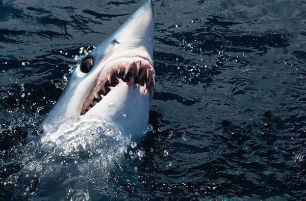 coast-boat-trips-mako-shark